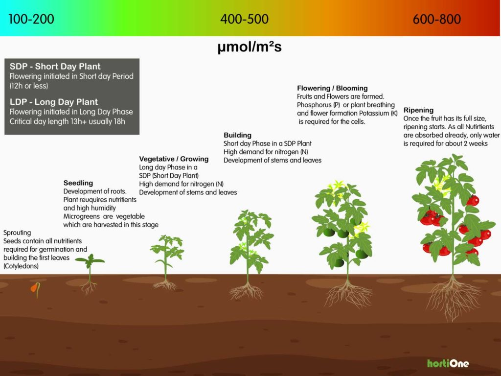 Plant growing phases