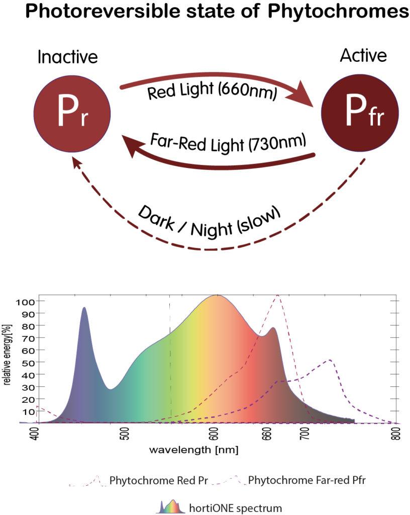 Welche Lichtintensität braucht meine Pflanze und wie Lange? Phytochrome Conversion 1